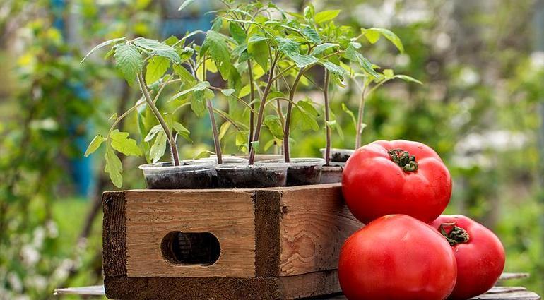 После каких культур можно сажать помидоры в открытый грунт лучшие варианты
