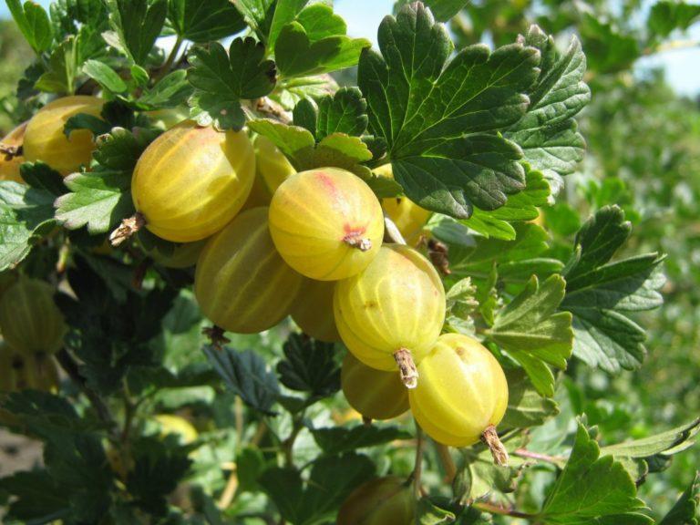 Десертные плоды сорта Берилл