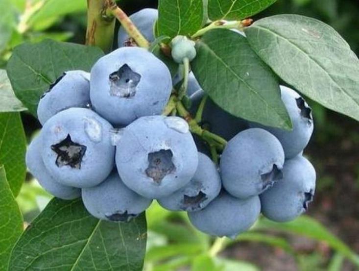 Спелые плоды голубики манят к себе
