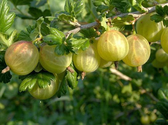 Как выглядят ягоды