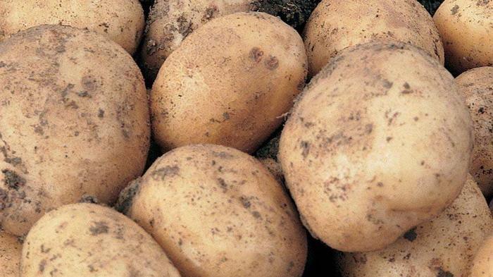Клубни картофеля Санте
