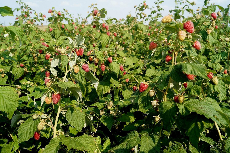 Урожай малины увеличится при правильном соседстве