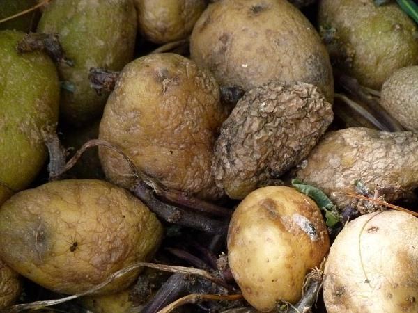Подмерзший картофель