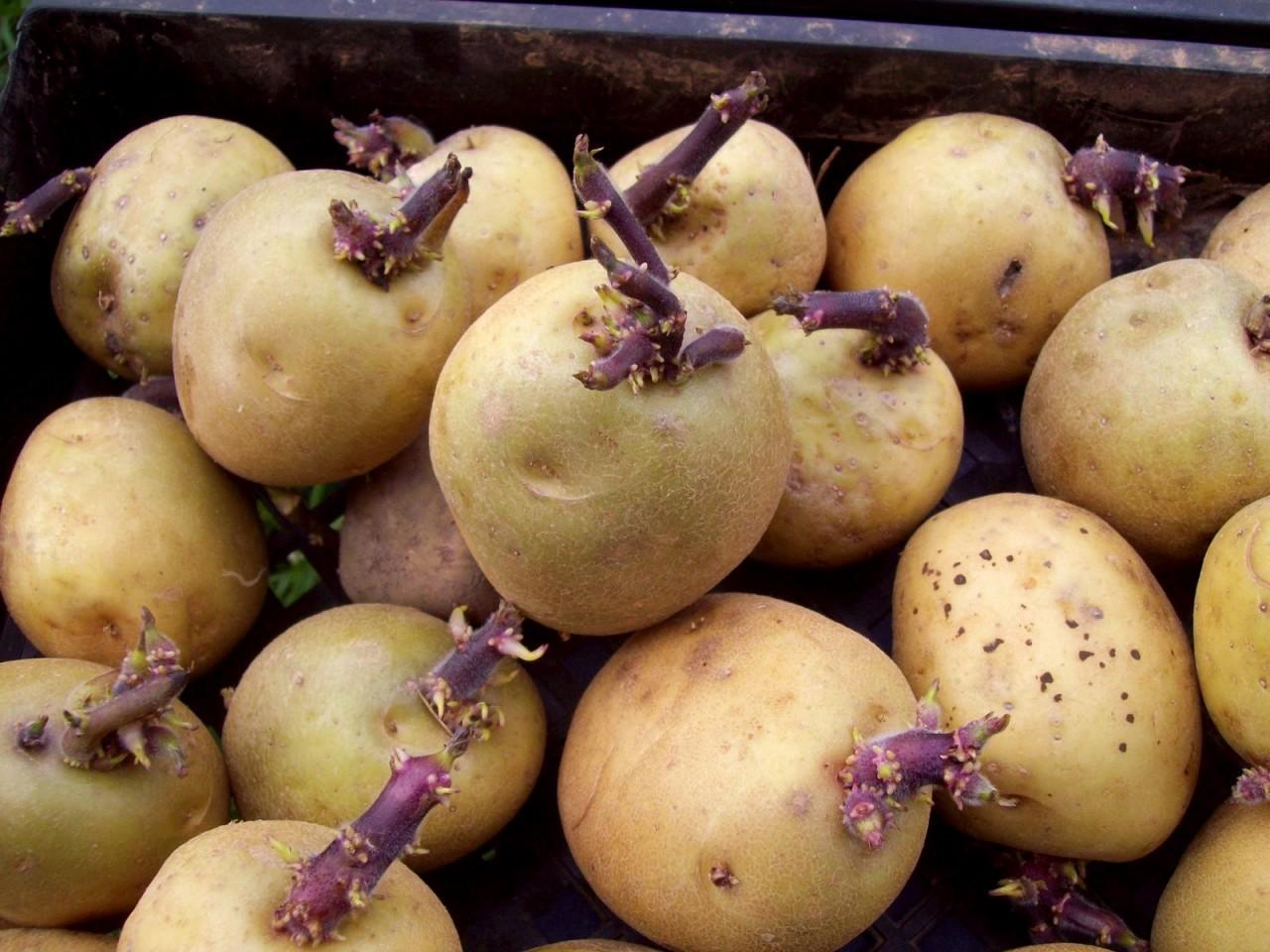 Правильно выбранный сорт семенного картофеля – залог хорошего урожая