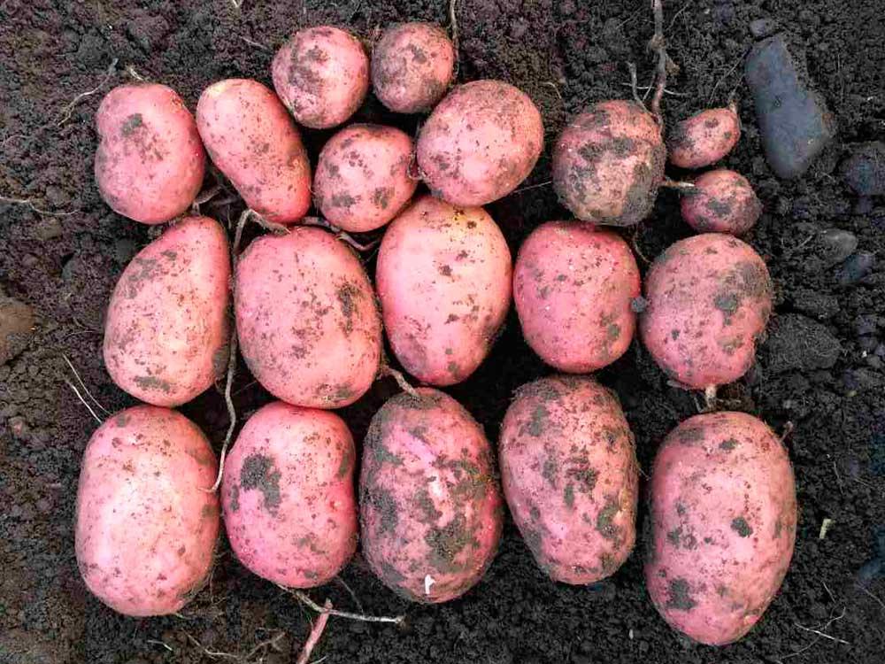 Созревшие картофельные клубни