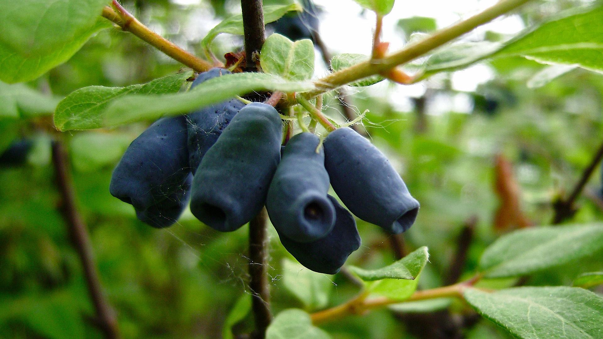 Жимолость Волхова имеет густую зеленую листву и сочные синеватые ягоды