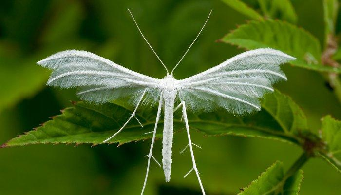 Бабочка пальцекрылка, выросшая из гусеницы