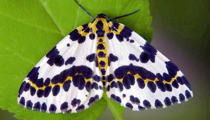Бабочка пяденица