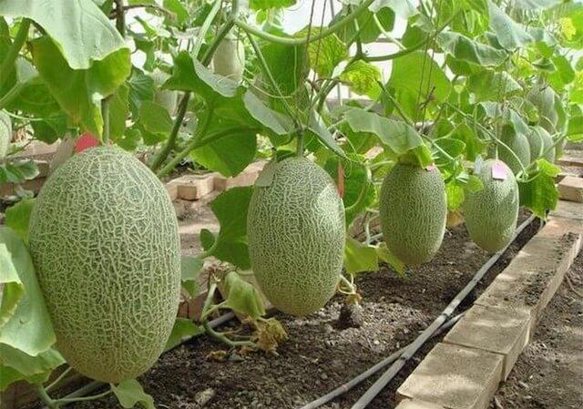 Вертикальное выращивание дыни