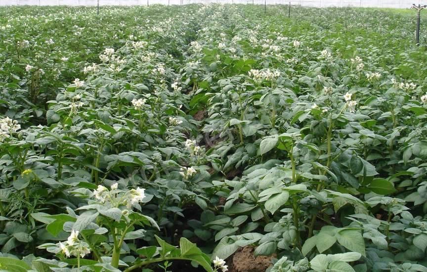 Картофельный участок