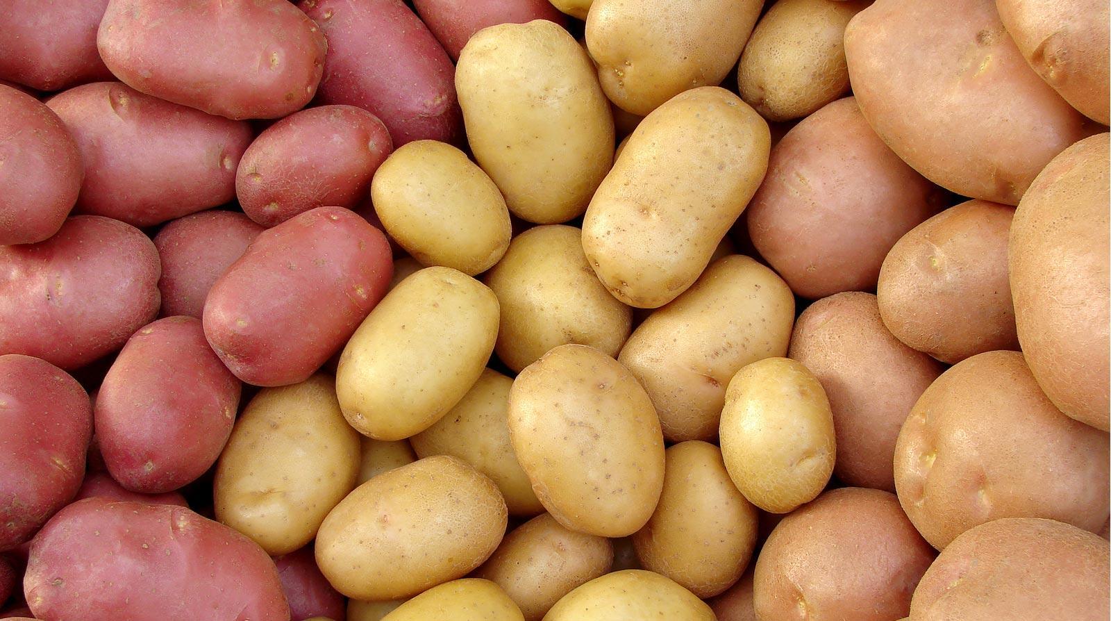 Селекционеры постоянно предлагают вниманию огородников новые сорта семенного картофеля