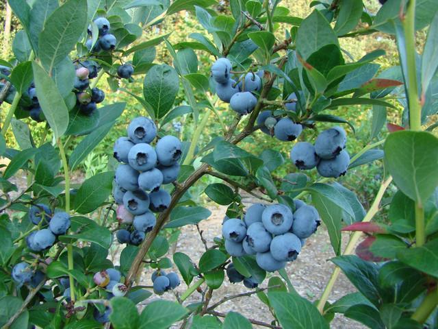 Голубика созревает массово и дает высокий урожай
