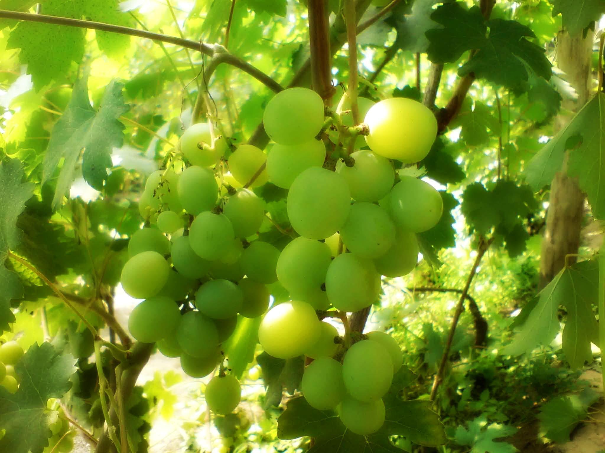 Виноград оказывает негативное влияние на рост малины