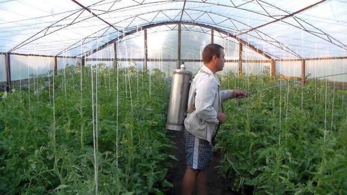 Паутинный клещ на томатах в теплице