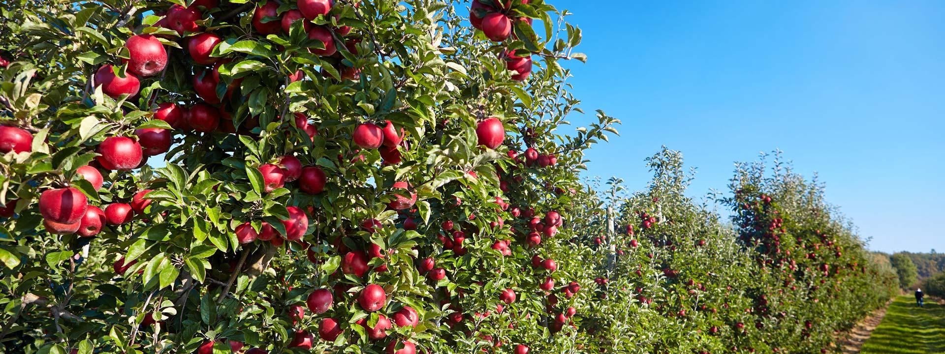 Яблоня отлично соседствует с малинными кустами