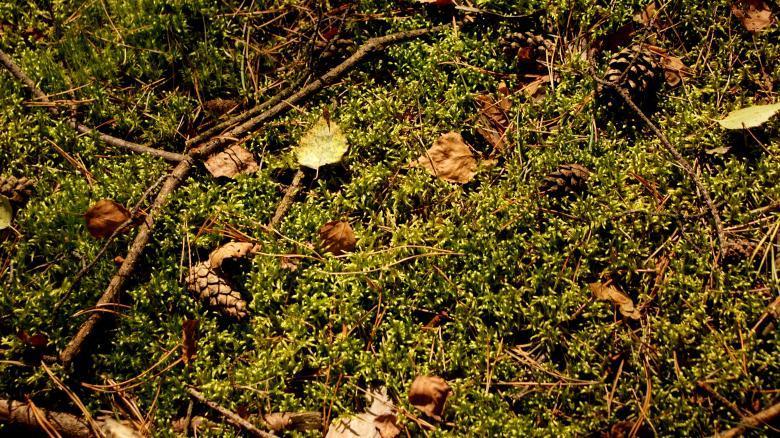 Хвойный опад – лучший субстрат для выращивания голубики