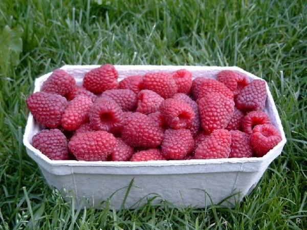 Плоды малины «Крепыш» хорошо сохраняются