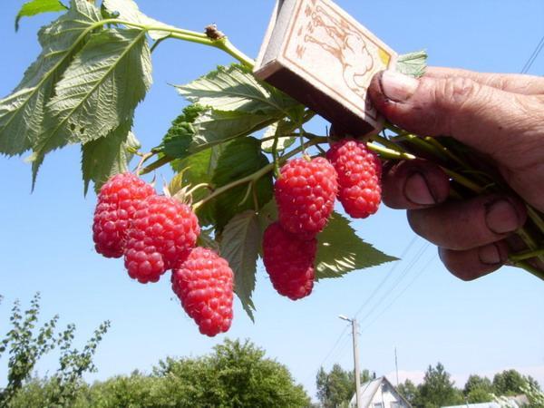 Малина Бриллиантовая обладает крупными плодами