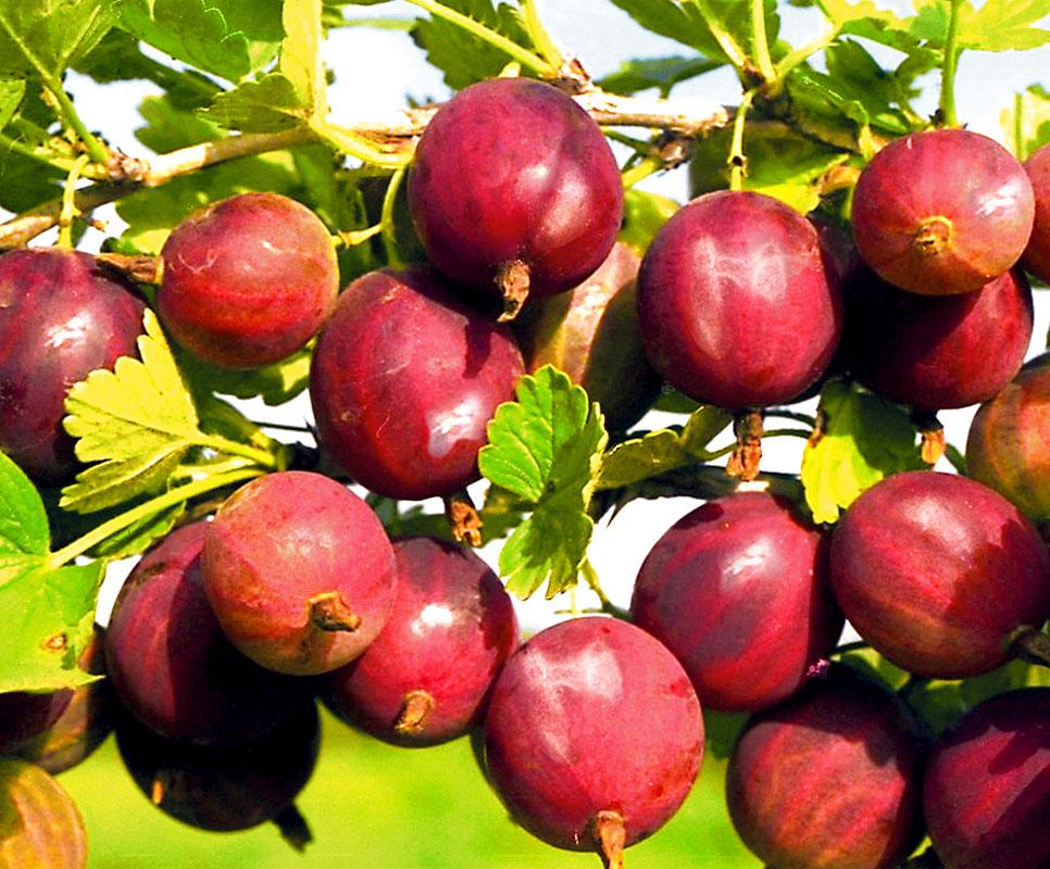 Плоды крыжовника Краснославянского