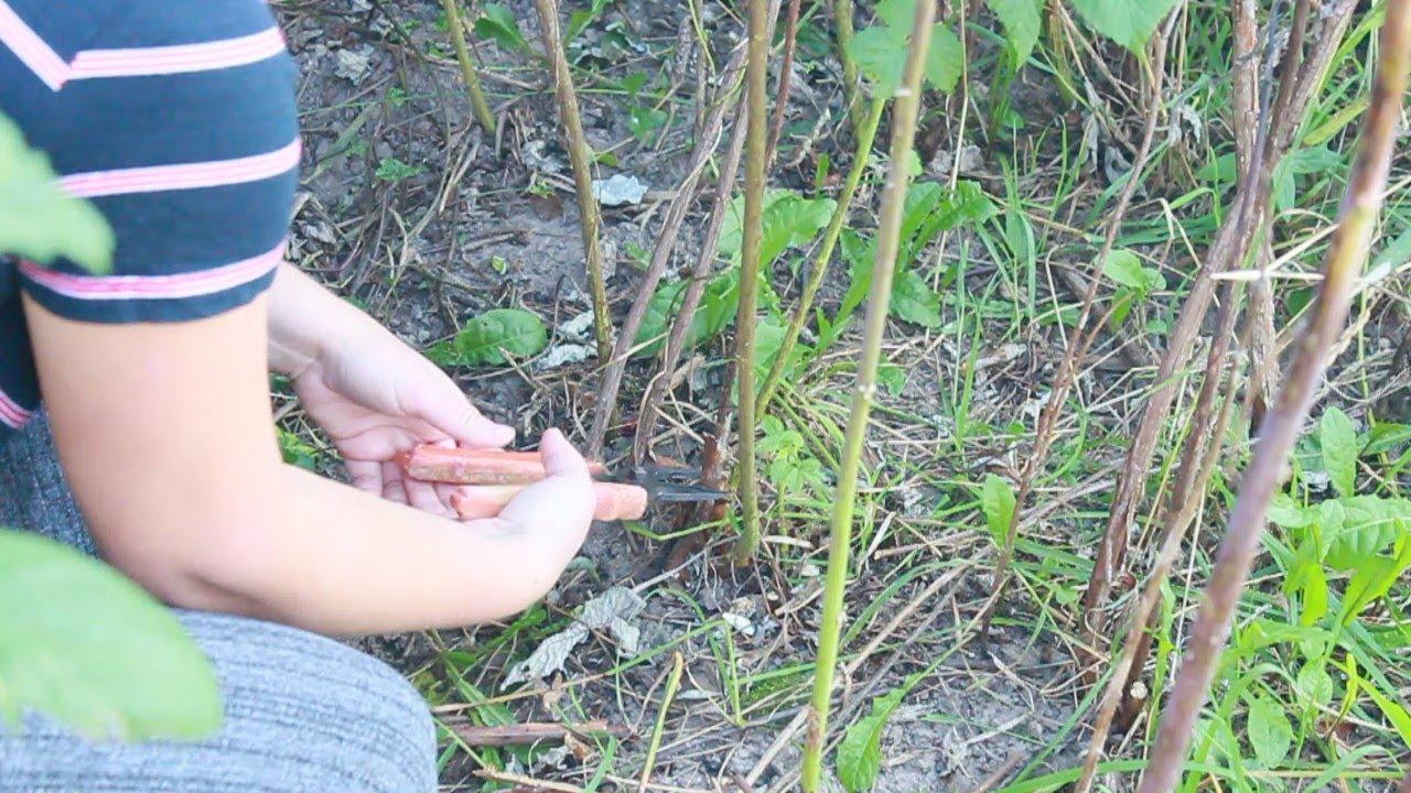 Подрезка отмершего стебля