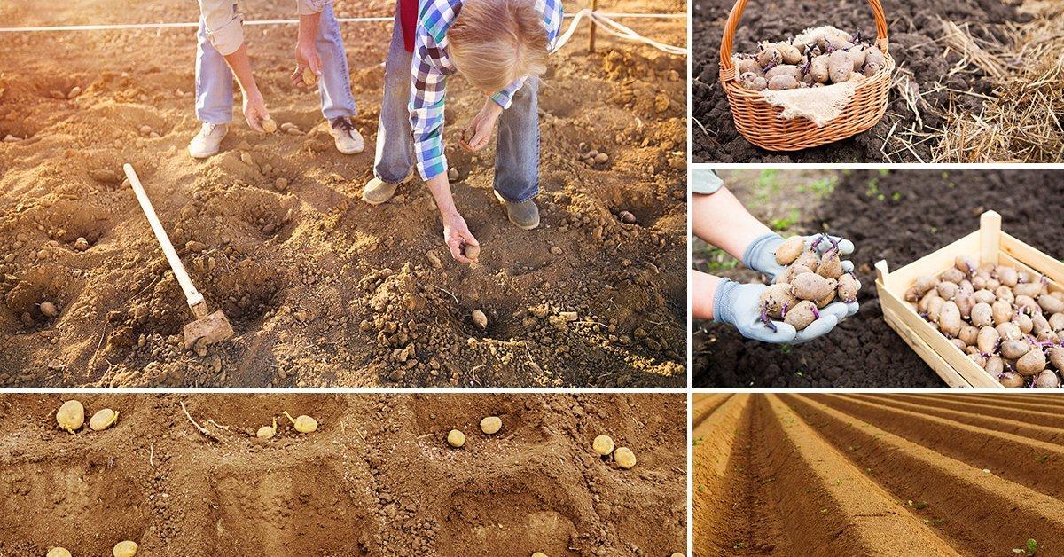 Посадка картофеля Вега