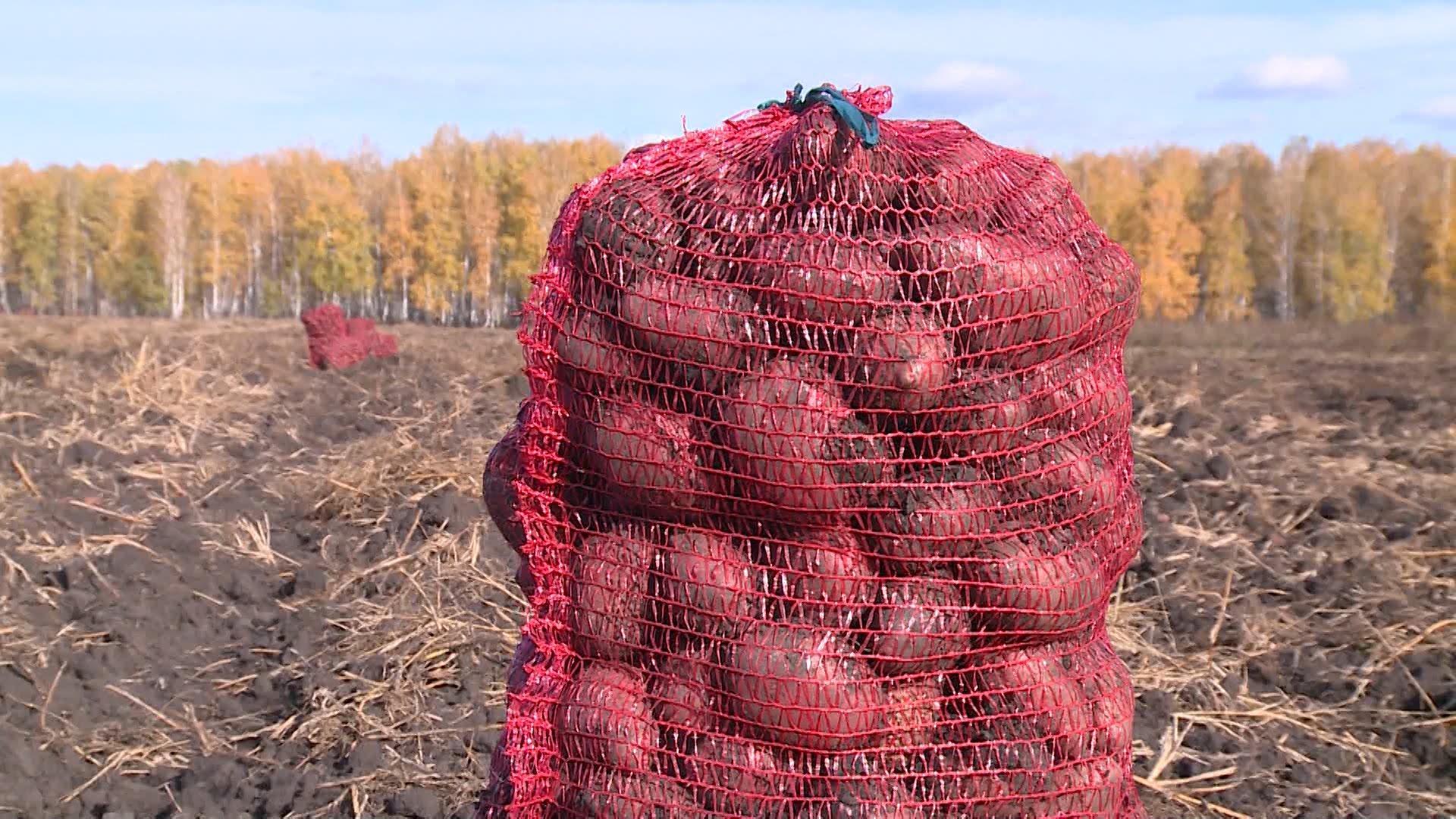 При интенсивном типе выращивания картофеля Манифест нужно своевременно и правильно вносить удобрения для получения высокого урожая
