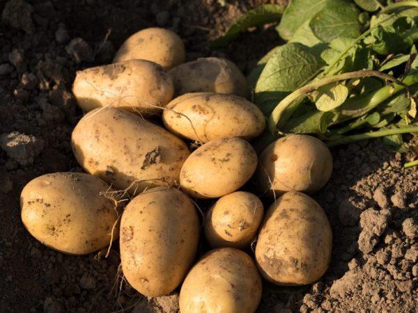 Под одним кустом вырастает до 10 плодов