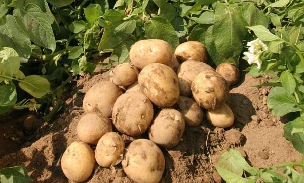 При хорошем уходе картофель дает обильный урожай
