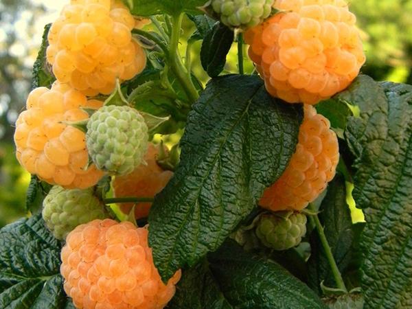 Желтые ягоды сорта Абрикосовая