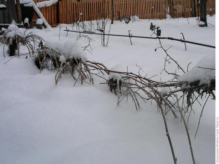 Малина Маросейка зимой