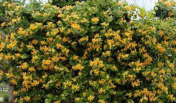 Во время цветения растению требуется тщательный полив
