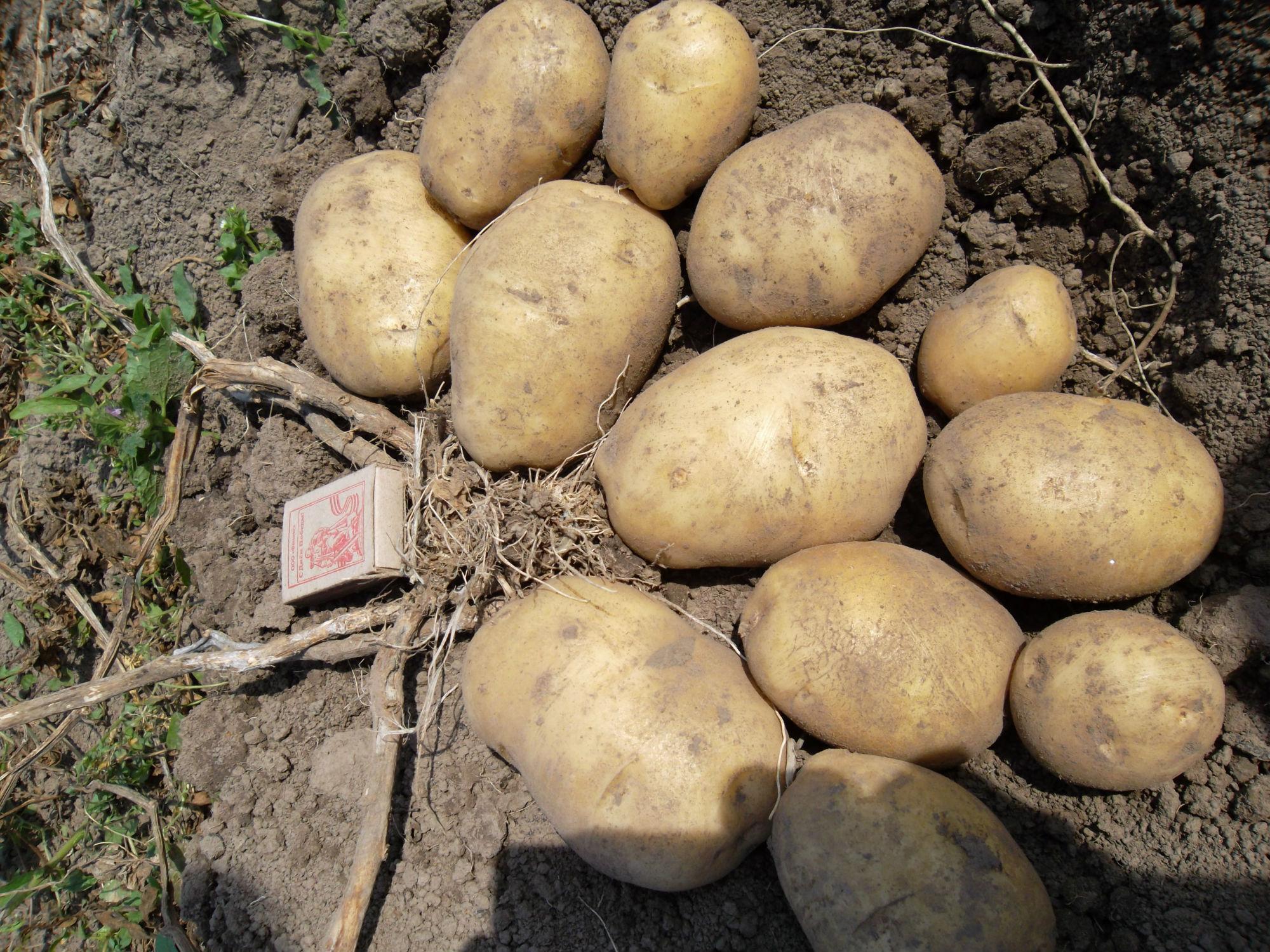 Картофель сорта Люкс отличается не только повышенной стойкостью к болезням, но и отличной урожайностью