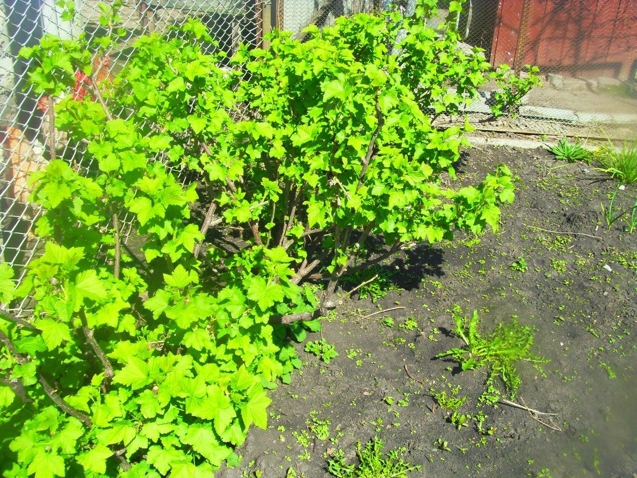 От правильного выбора саженца белой смородины зависит будущий урожай