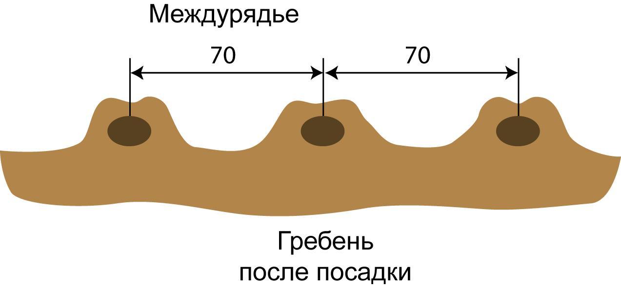 Картофель Янка описание и характеристики сорта урожайность с фото