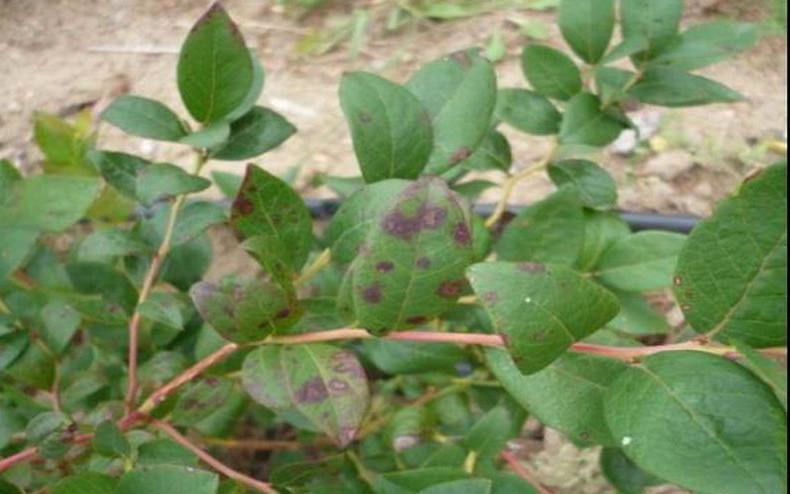 Повреждение листьев голубики