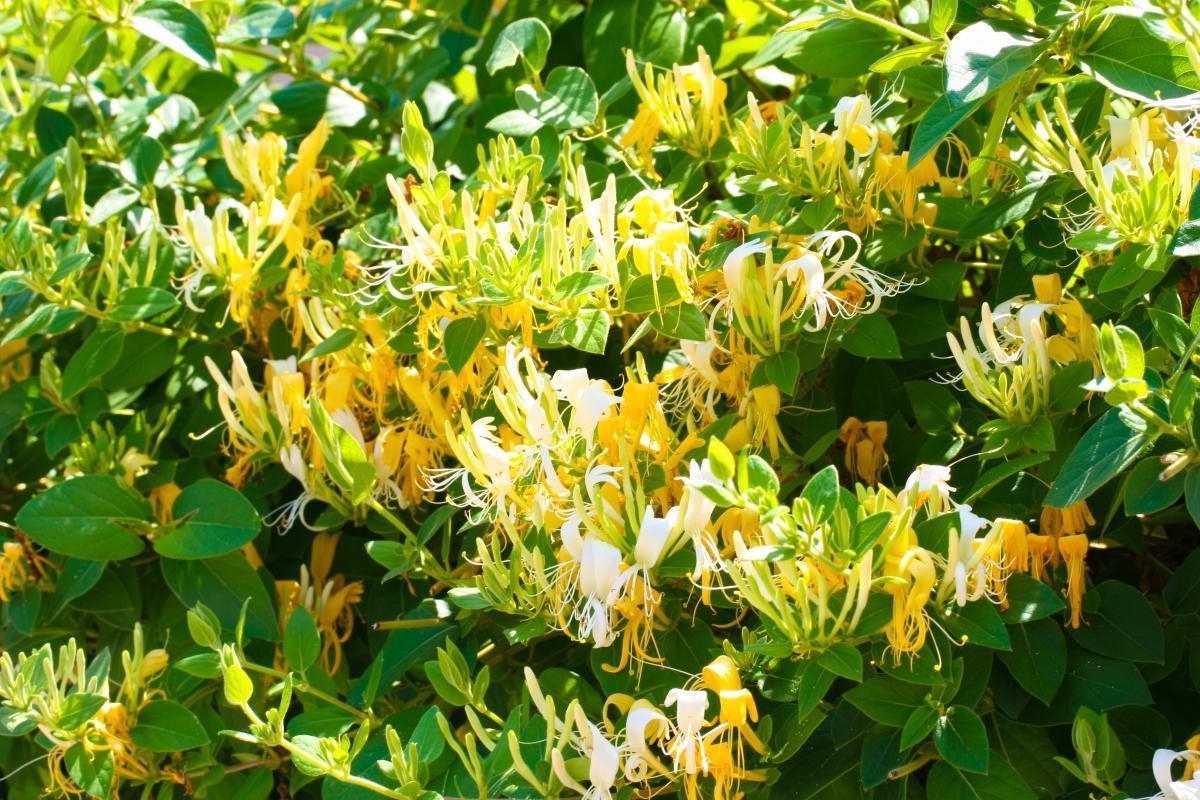 При правильном уходе Жимолость Тельмана обязательно порадует обильным цветением