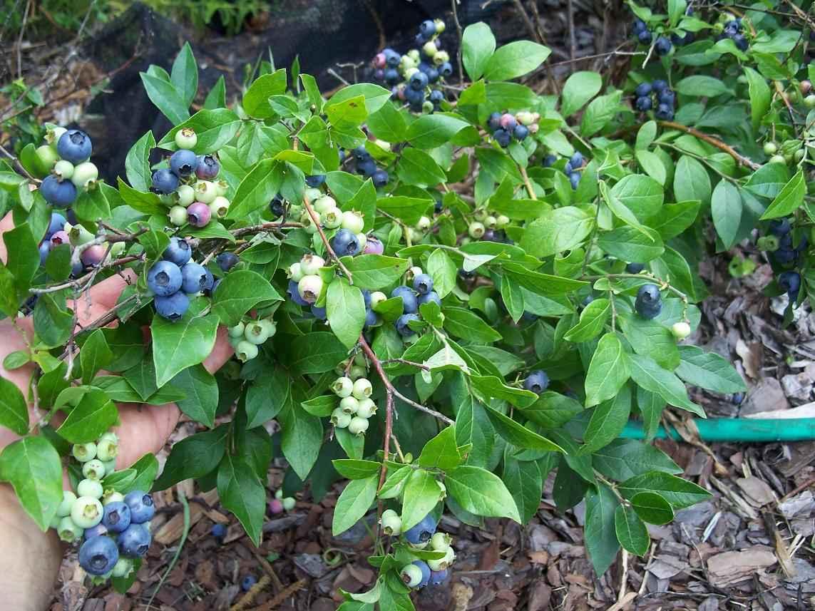 При правильном уходе голубика Нортблю обязательно порадует обильным урожаем вкусных ягод
