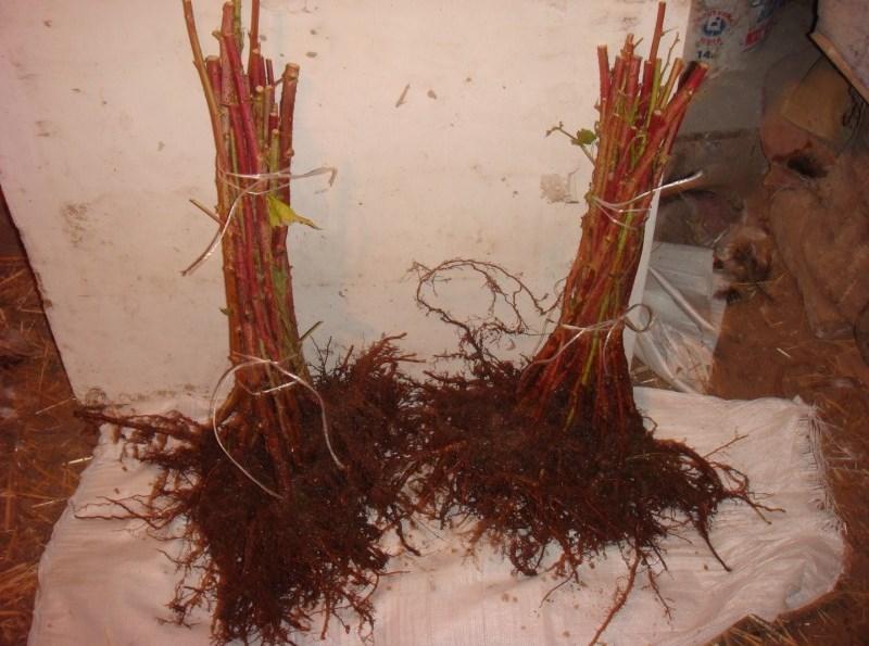 Саженцы малины Крепыш