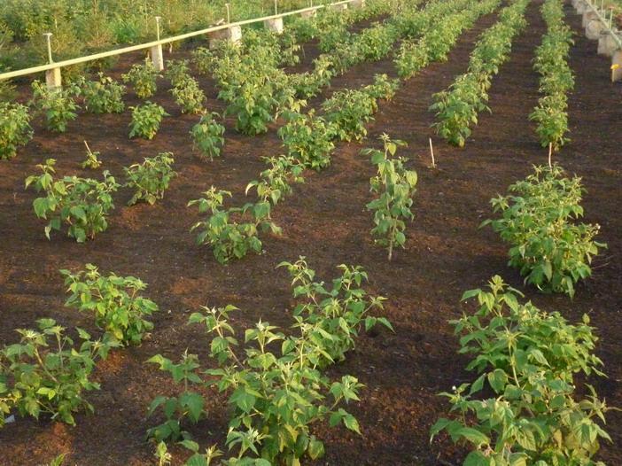 Саженцы малины Вольница после посадки поливают и мульчируют