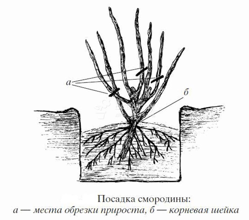 Схема посадки красной смородины
