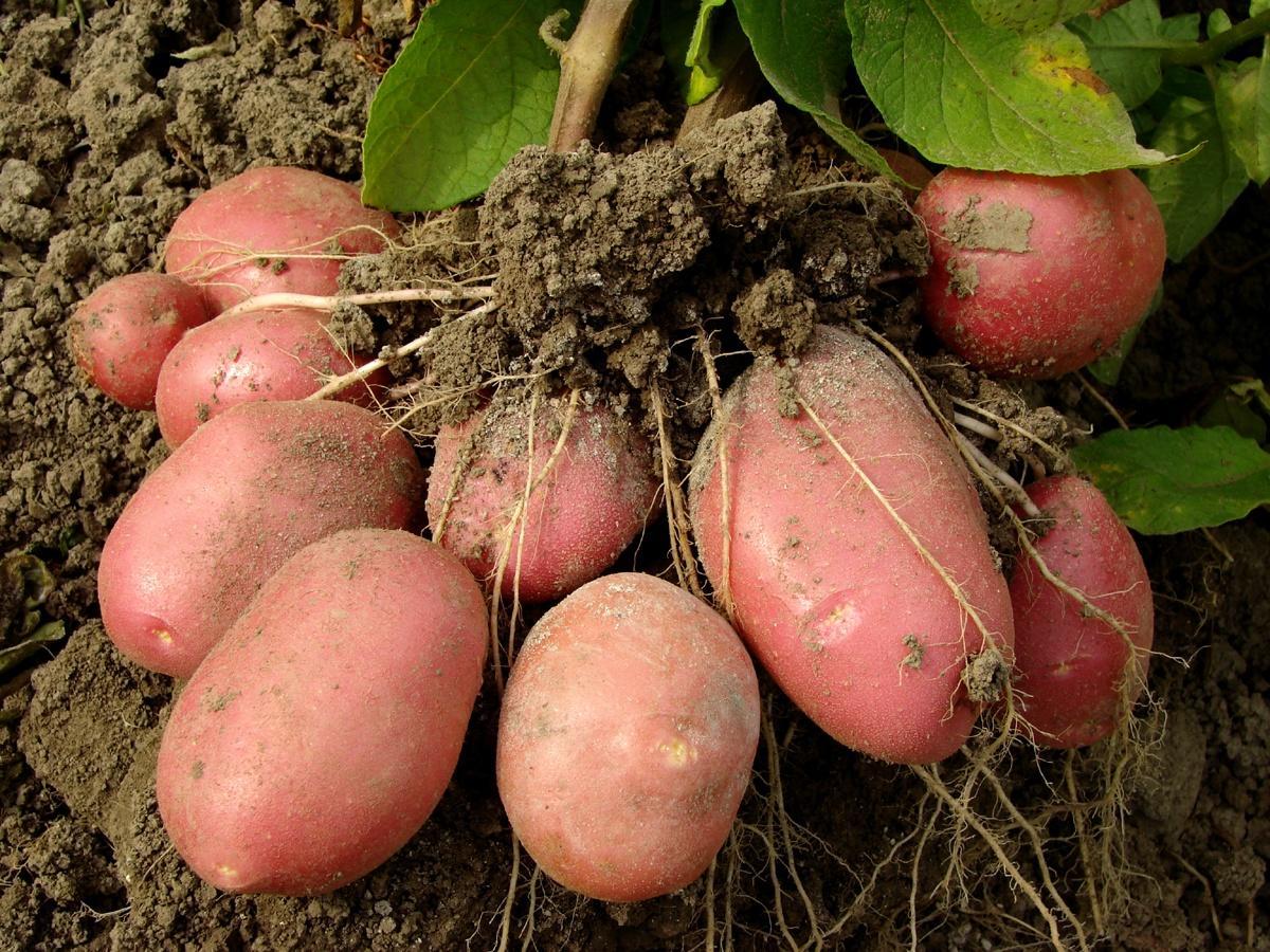 Сорт картофеля Манифест проявляет повышенную стойкость к основным заболеваниям