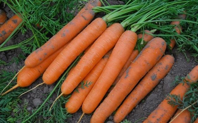Богатый урожай позднеспелой моркови