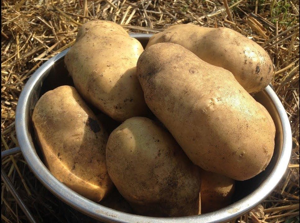Урожай картофеля из короба
