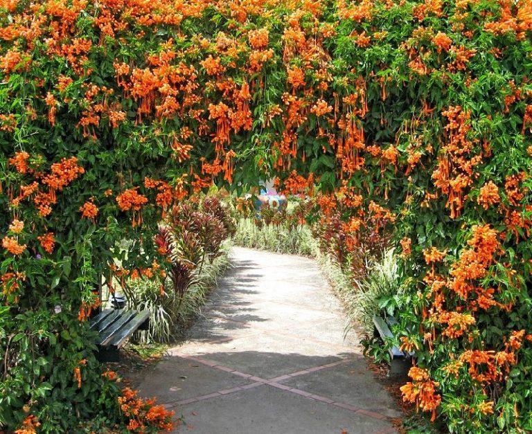 Жимолость вьющаяся в виде цветущей арки