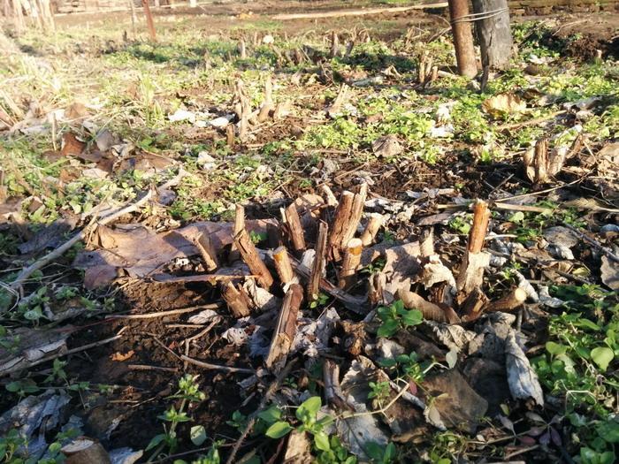 Осенняя обрезка малины Бриллиантовой