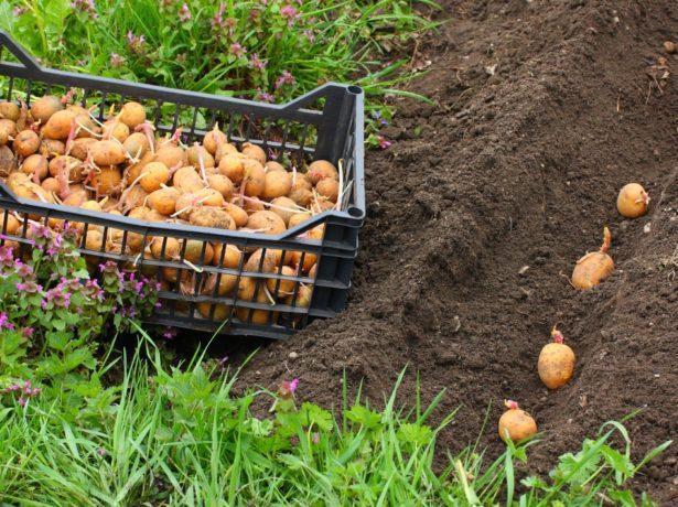 Посадка проросшего картофеля