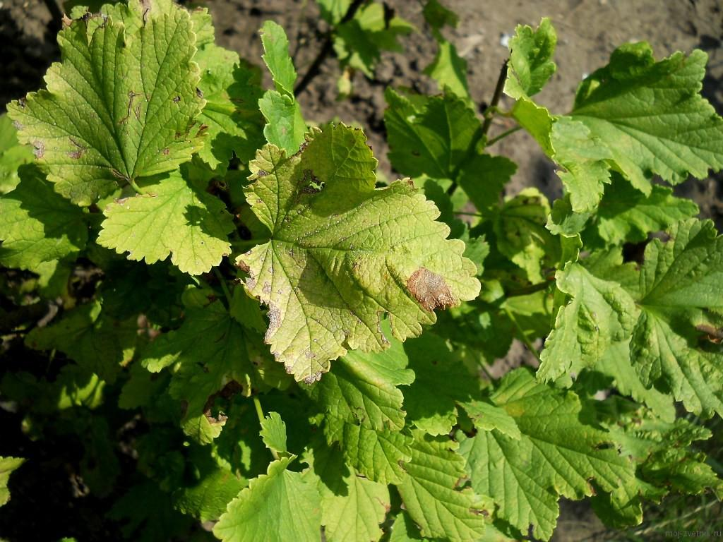 Листья, пораженные септориозом