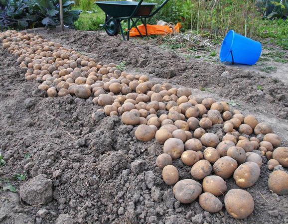 Урожай картофеля Киви