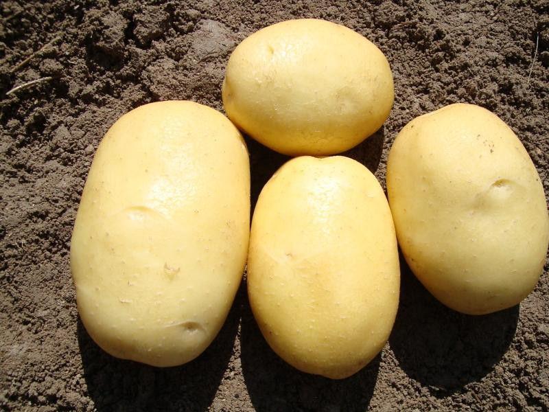 Картофель Вега