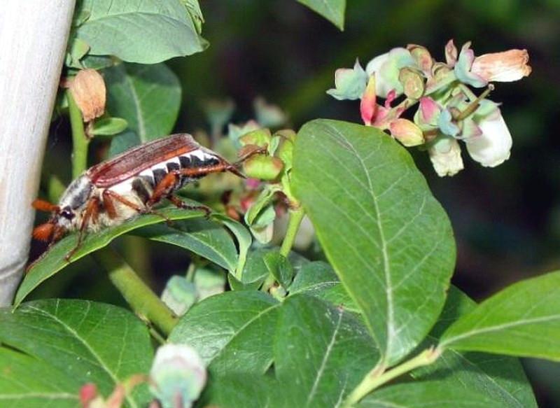 Майский жук – вредитель голубики